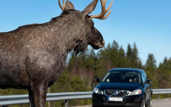 На дорогах Смоленщины прозишло 4 ДТП с животными